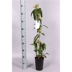 Picture of Clematis armandii