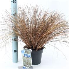 Picture of Carex comans Bronze Form