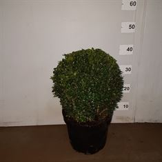 Picture of Buxus ball 25cm