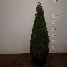 Picture of Buxus pyramid 50-60cm