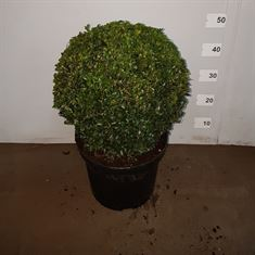 Picture of Buxus ball 35cm