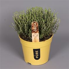 Picture of Herbs - Thymus Vulgaris