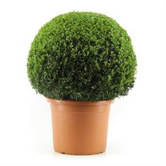 Picture of Buxus 65 cm. ball