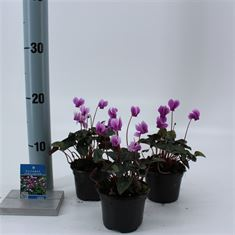 Picture of Cyclamen hederifolium Amaze Me Pink