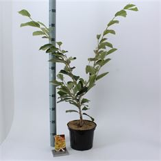 Picture of Hamamelis int. Arnold Promise
