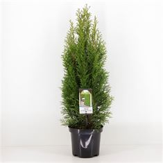 Picture of Thuja occidentalis Smaragd