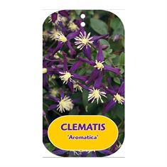 Picture of Clematis Aromatica