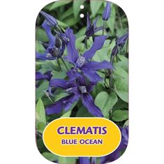 Picture of Clematis BLUE OCEAN