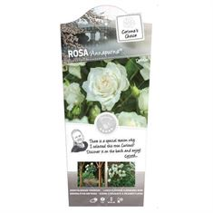 Picture of Rosa Annapurna- 60 Stem - Exclusive Collection