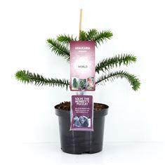 Picture of Araucaria araucana Plants-of-the-World