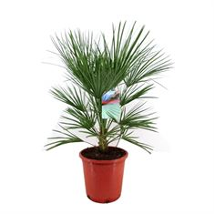 Picture of Chamaerops humilis