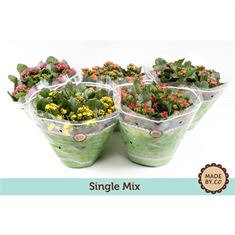 Picture of Kalanchoe single mix