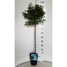 Picture of Betula pendula Magical Globe®