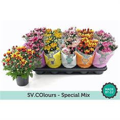 Picture of Chrysant special mix sv.colour