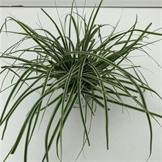 Picture of Carex Evercolor Everest