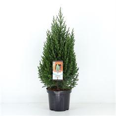 Picture of Juniperus chinensis Stricta