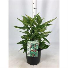 Picture of Aucuba japonica Variegata