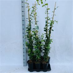 Picture of Trachelospermum jasminioides