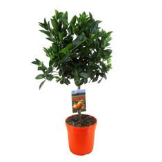 Picture of Citrus calamondin