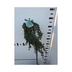 Picture of  Cotoneaster dammeri Winter Jewel