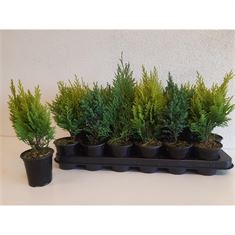 Picture of Conifers mixed; Blue, White, Green and Yellow