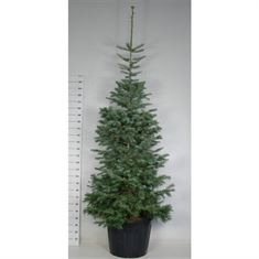 Picture of Abies concolor