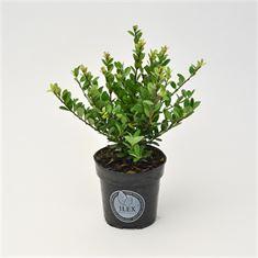 Picture of Ilex crenata Dark Green bush 10-12, P9
