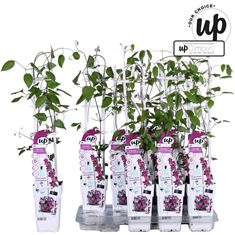 Picture of Clematis Acropolis - Our Choice