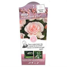 Picture of Rosa A Whiter Shade of Pale - Struik - C3rp - Categorie 3