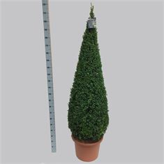 Picture of Buxus 160-170 pyr. 50/TC40