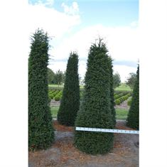 Picture of Taxus baccata