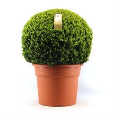 Picture of Buxus 80 cm. ball