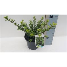 Picture of Ilex crenata Caroline Upright C2