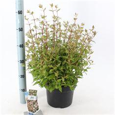 Picture of Abelia grandiflora Sherwood