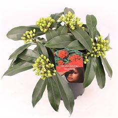 Picture of Skimmia j. reevesiana