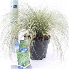 Picture of Carex comans Frosted Curls