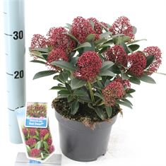 Picture of Skimmia jap. Red Dwarf