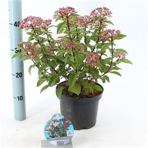 Picture of Viburnum tinus Spirit