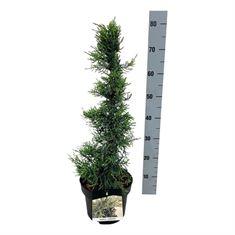 Picture of Juniperus pfitzeriana