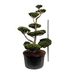Picture of Pinus heldreichii