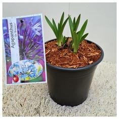 Picture of Agapanthus Dr Brouwer