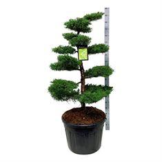 Picture of Juniperus pf. pfitzeriana aurea