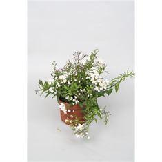 Picture of Solanum jasminoides p10,5